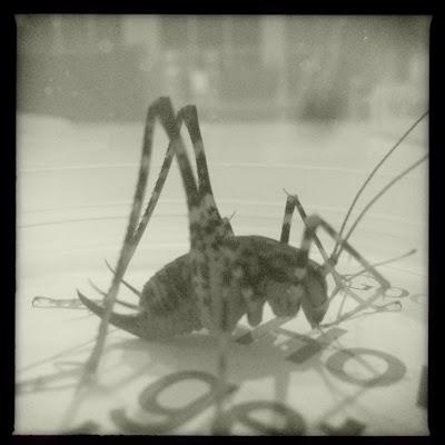 October cricket / rubs his thin legs together / keeping himself warm. // haiku - micropoetry - haikumages