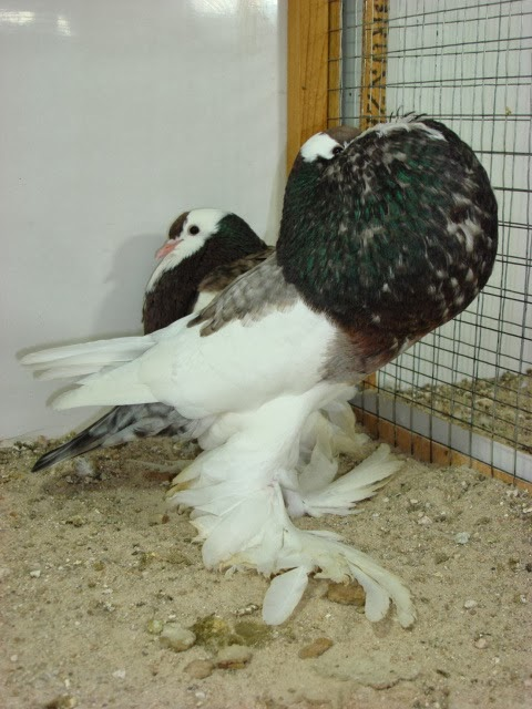 Pouter Pigeons for sale