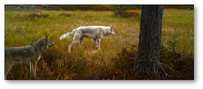 Wolves are seen in the Upper Peninsula of Michigan. Credit: Andrew Krugh