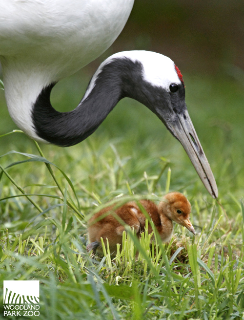 Red Crowned Crane Baby Photo by Dennis DowWoodland