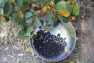 photo of collecting Aronia berries