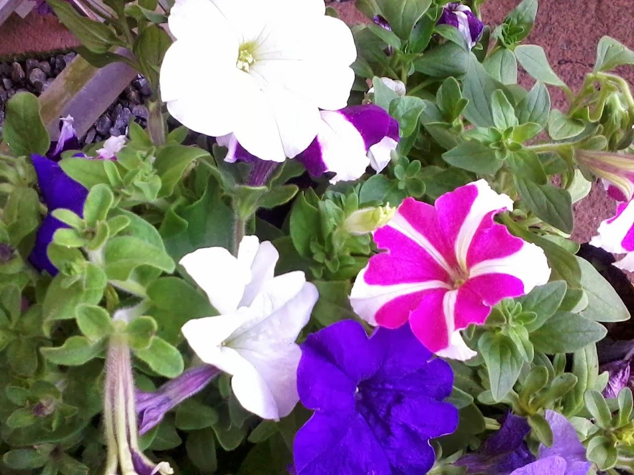 F nix plantas e jardins pet nia ideal para jardineiras for Petunie inverno