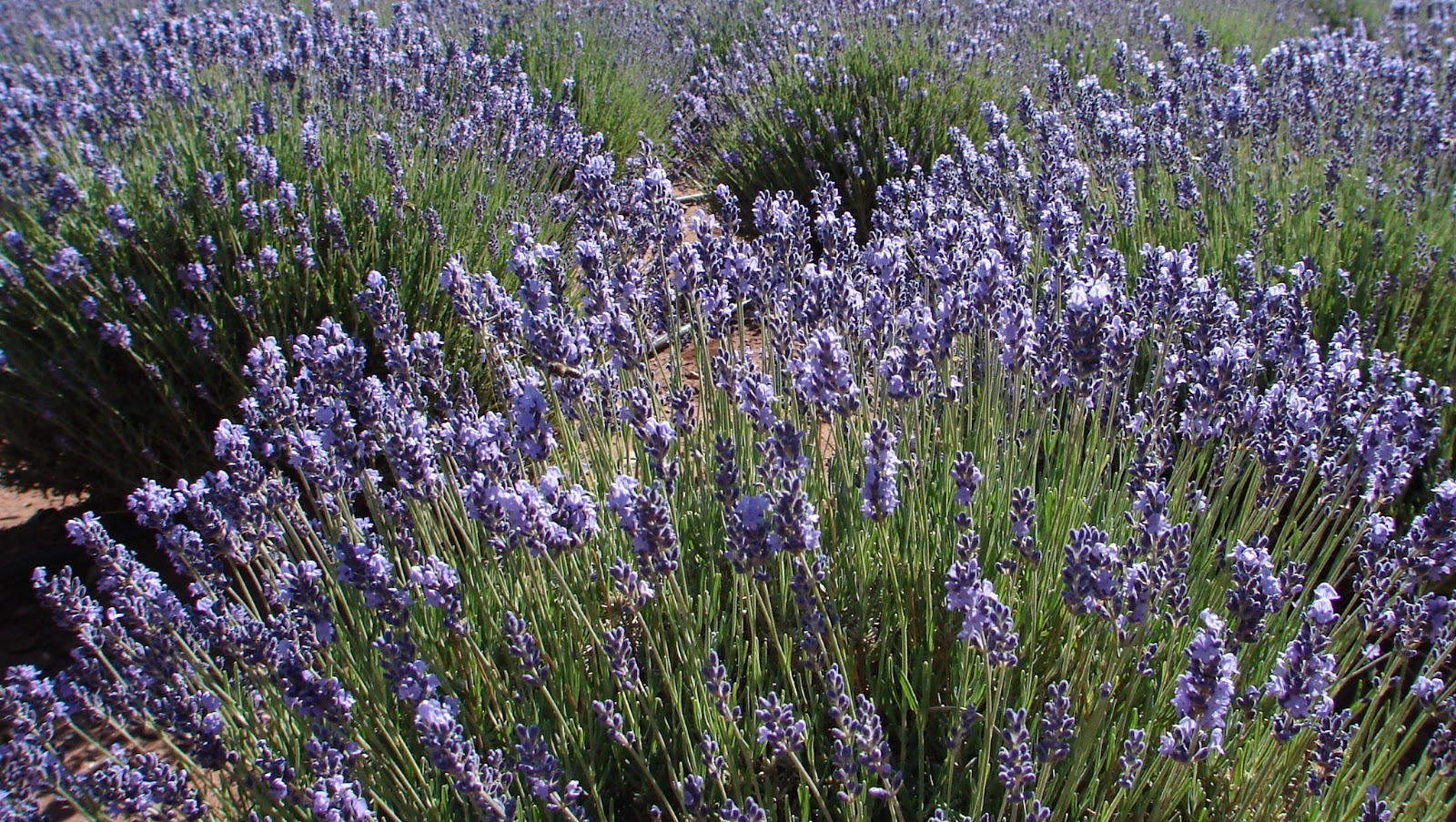 Top 28 Growing Lavender In Az Rosemary Planting Guide