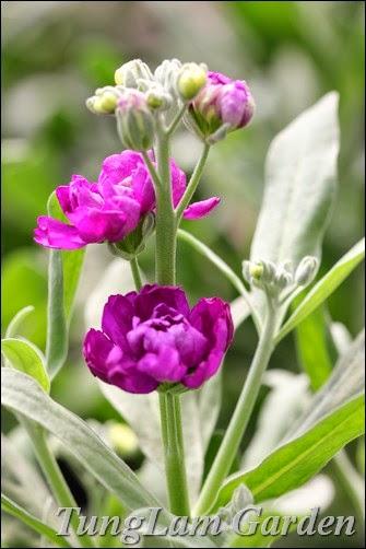 thảo quế hương, hoa chậu TungLam garden