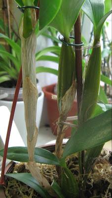 Den. eximium x forbesii - псевдобульбы дендробиума
