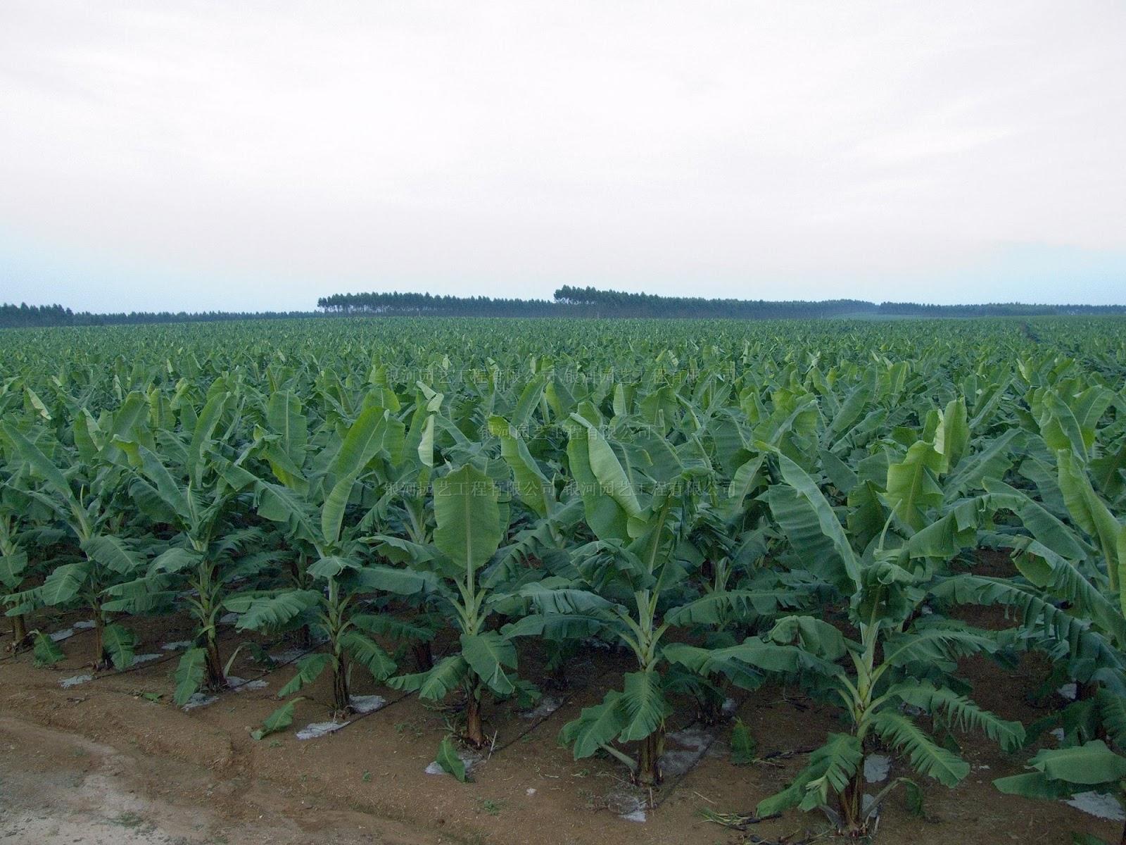 Gambar kebun pisang