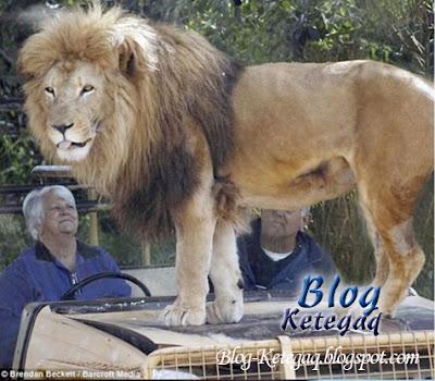 Masih tersenyum walau berhadapan dengan singa