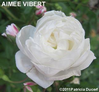 Belles roses sans souci rosier aimee vibert - Rosier grimpant sans epine ...