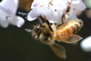 macro bee jpg