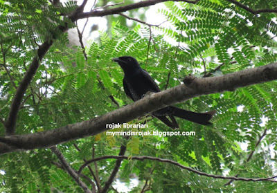 Crow billed Drongo