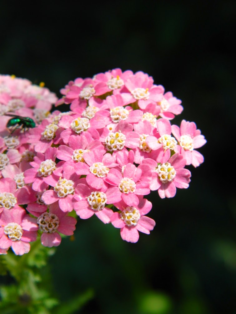 Pink yarrow Achillea millefolium flowers by garden muses-not another Toronto gardening blog