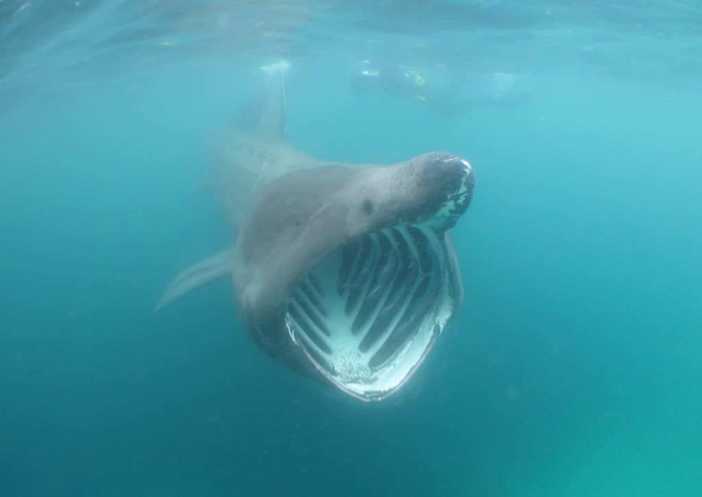 Basking Shark - Fishes