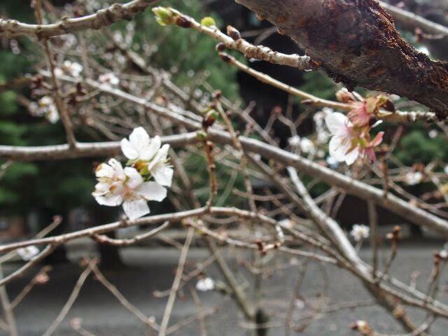阿弥陀堂前で寒桜。