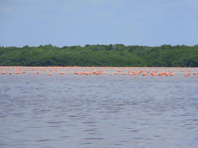 Os flamingos ao longe