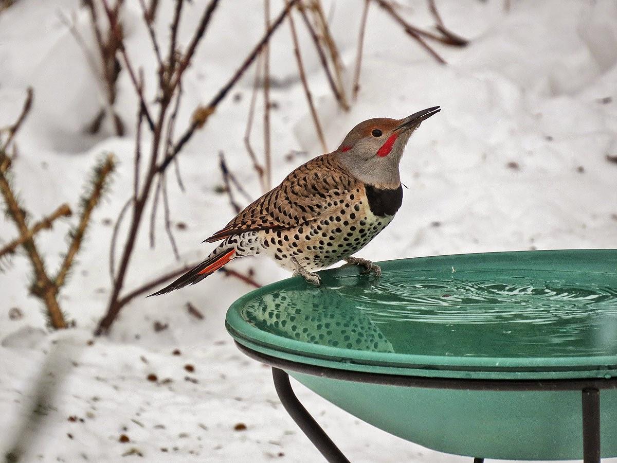 heated bird bath from wild birds unlimited