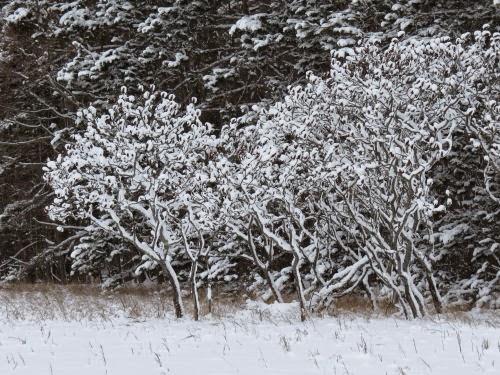sumac branches