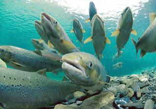Salmon ageless foods