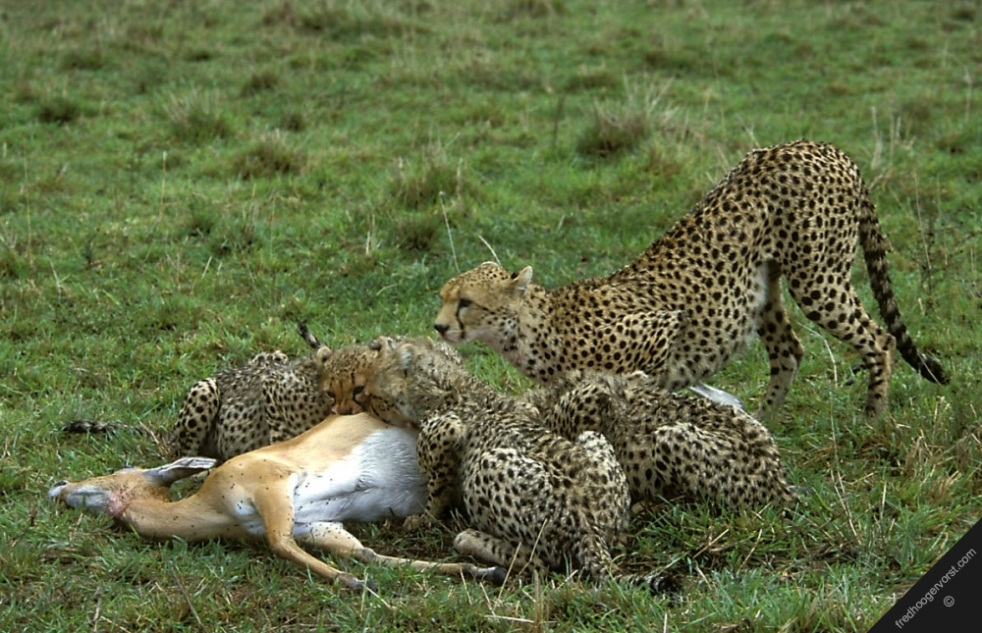 a study on the cheetah Africat became part of a thermoregulation study of free-living cheetah during 2005/2006 - the results are finally out and being spoken about around the globe to date, no one had investigated how wild cheetahs regulate their body temperature or how they deal with the extreme heat loads to which they are exposed.