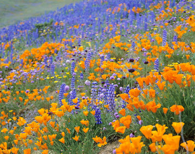 California Poppy (Eschscholzia Californica Cham) Overview, Health Benefits, Side effects