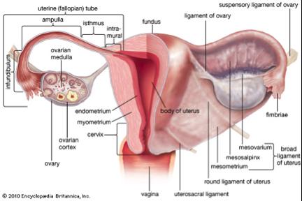 Mengenal Istilah Endometriosis Pada Wanita