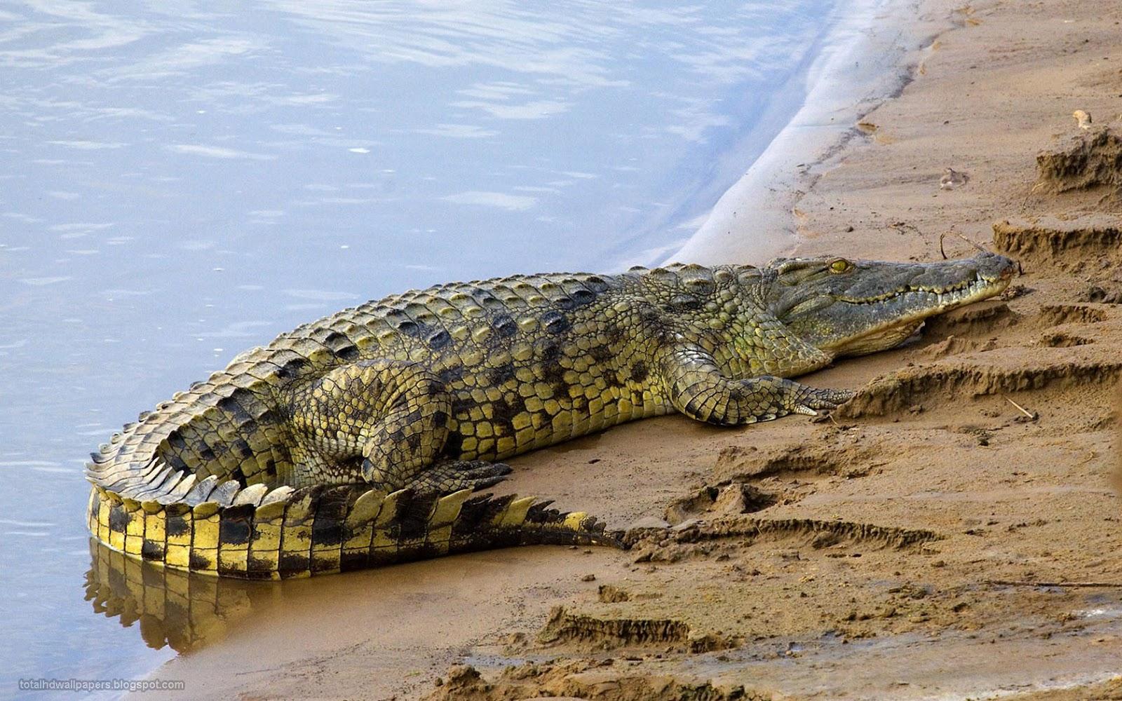 Crocodile Wallpapers hd   Neptunes Dreams
