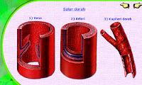 kapilari darah