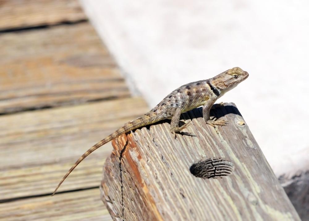 Desert Spiny Lizard, Sceloperus magister_1094