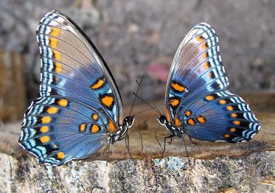 two-butterflies