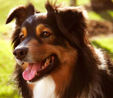 Breeds Australian Shepherd Dog