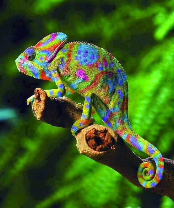 A beautiful rainbow chameleon also known as Veiled chameleon. (Chamaeleo calyptratus)