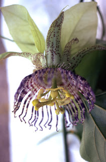 unidentified passion flower from Costa Rica