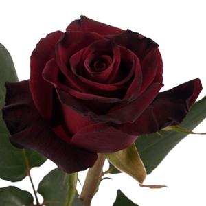 Gambar asli Bunga Mawar Hitam