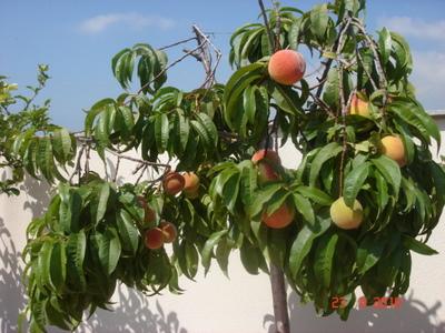 arte y jardinerÍa : arboles frutales enanos