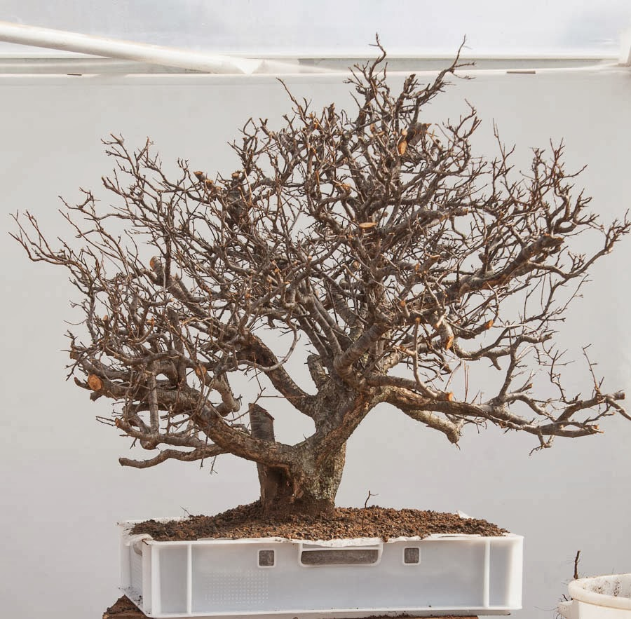 Walter Pall Bonsai Adventures Prunus 17