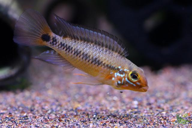 Ap.sp.ヴァウペス