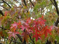 雨に洗われる紅葉