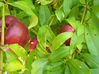Gardening: The Ghostly White Nectarine