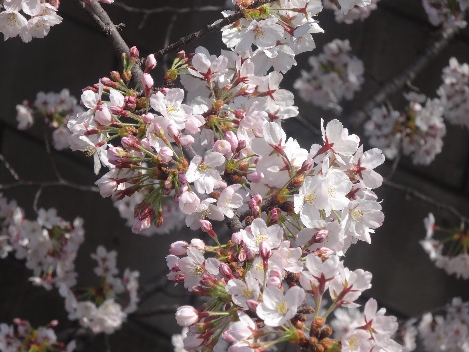桜,神田川〈著作権フリー画像〉Free Stock Photos