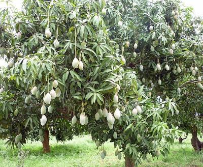 khasiat buah mangga