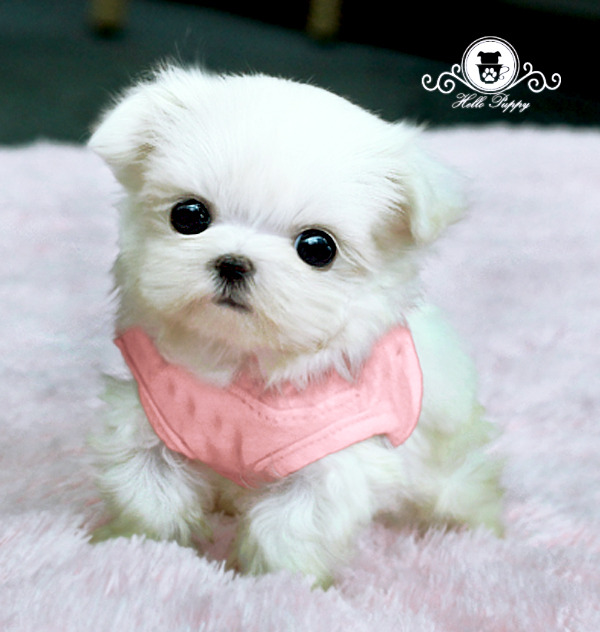 Full Grown Teacup Maltese