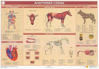 Анатомия собак