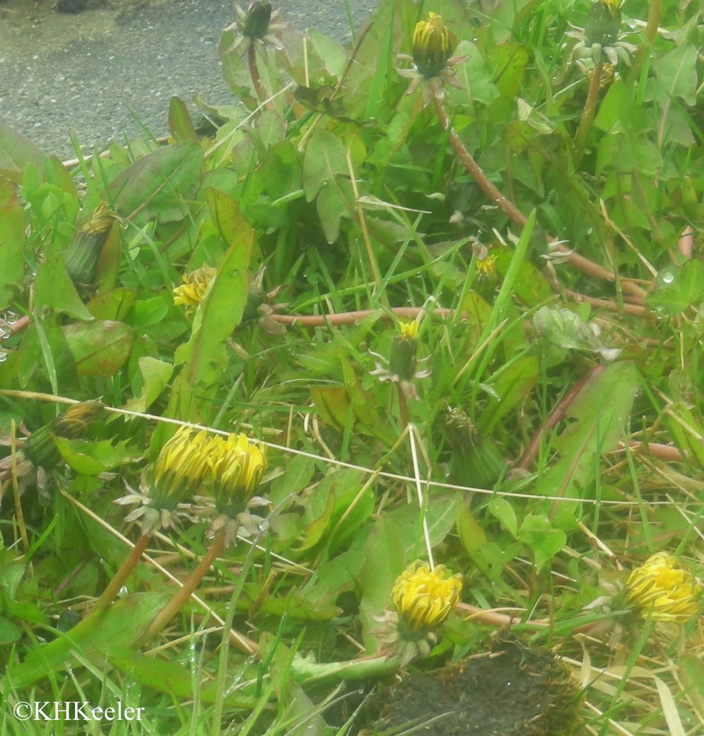 dandelions, Taraxacum officinale in Tierra del Fuego