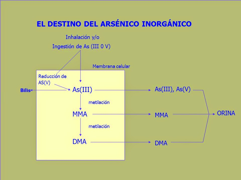 Metabolización del arsénico en el hígado para eliminarlo por la orina