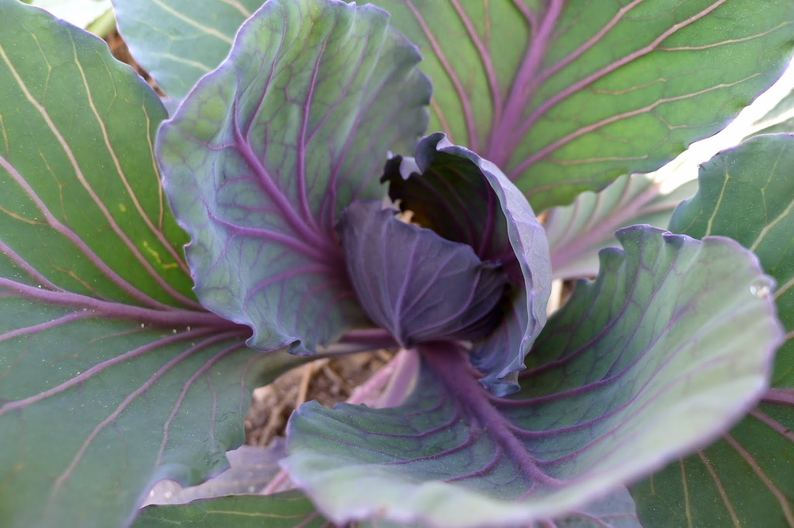 Red Salad Cabbage, urban farming