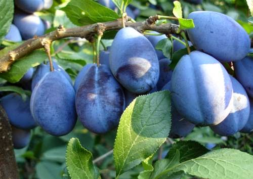 Dieta cu prune - cum slabesti 3 kg in sapte zile