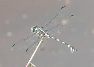 Ictinigomphus decoratus