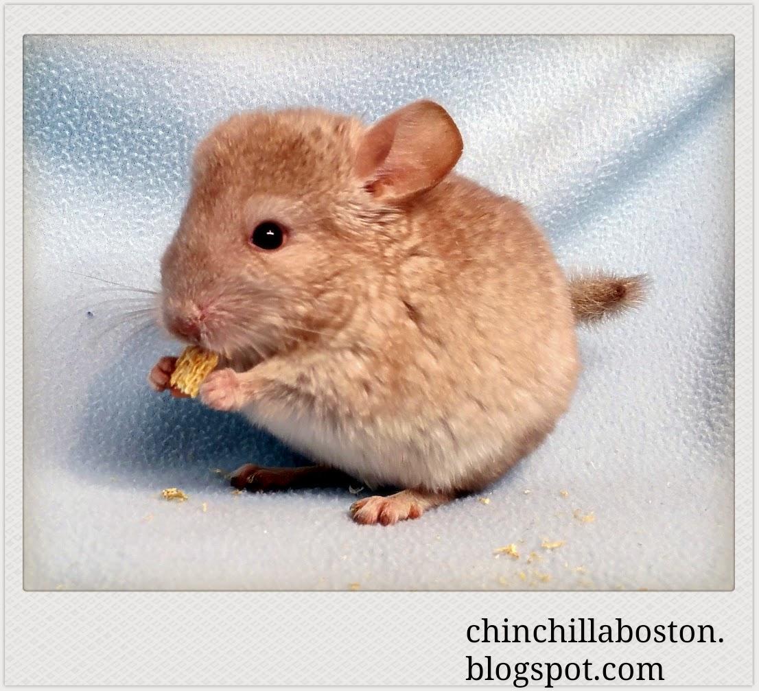 Chinchilla Boston: Adopted (Eggnog)