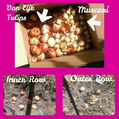 bulbs-perfect pairs Tulip Mystic Van Eijk and Muscari Armeniacum