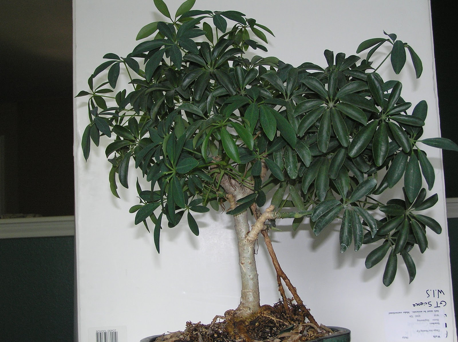 Capewood39s Collections Umbrella Tree Bonsai