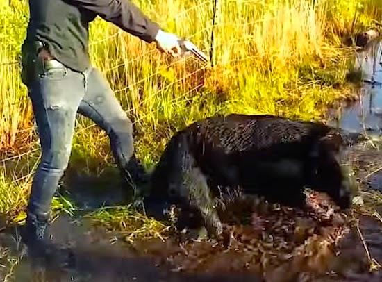 Wild Boar Attacks Human Crazy Top 10 Wild Boar...